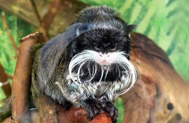 Marmoset moustache Photo by: Jessica Merz https://creativecommons.org/licenses/by-sa/2.0/