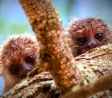 The Cutest Baby Marmosets Ever! Photo By: Bart Van Dorp Https://creativecommons.org/licenses/by-Sa/2.0/
