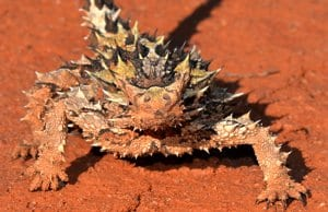 Thorny Devil / MolochPhoto by: Jean and Fredhttps://creativecommons.org/licenses/by-nc-sa/2.0/
