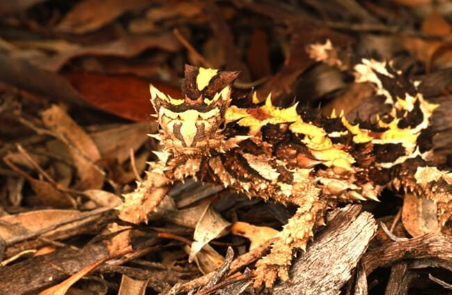 Well-camouflaged Moloch Photo by: Dash Huang https://creativecommons.org/licenses/by-nc-sa/2.0/