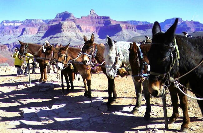 Mule Parking at the Grand Canyon Photo by: pporto //creativecommons.org/licenses/by-sa/2.0/