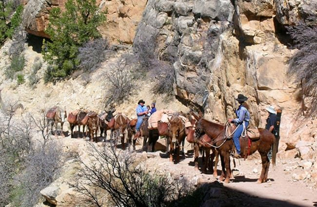 Canyon mules in Training Photo by: Eric McCarthy //creativecommons.org/licenses/by-sa/2.0/