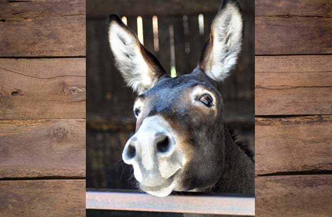 MulePhoto by: Marzena P.//pixabay.com/photos/donkey-long-ears-portrait-funny-3636234/