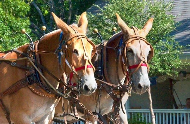 A pair of Mules hitched to pull a wagon Photo by: Susan Adams //creativecommons.org/licenses/by-sa/2.0/