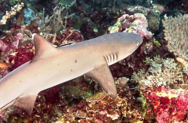 Whitetip Reef Shark Photo by: Rickard Zerpe //creativecommons.org/licenses/by/2.0/