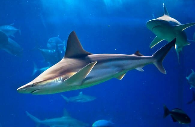 Grey Reef Sharks, photographed at the Maui Ocean Center Photo by: Joe Boyd //creativecommons.org/licenses/by/2.0/