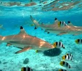 A Blacktip Reef Shark Chasing Butterfly Fish Photo By: (C) Pljvv Www.fotosearch.com