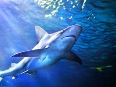 Gray Reef Shark, photographed at the Denver AquariumPhoto by: (c) bkpardini www.fotosearch.com