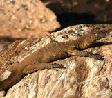 Savannah Monitor Lizard On A Rockphoto By: (C) Imagex Www.fotosearch.com