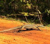 Monitor Lizard, Photographed On The Island Of Sri Lanka. Photo By: (C) Kyslynskyy Www.fotosearch.com
