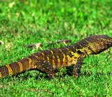 Monitor Lizard Crawling In African Savannah Photo By: (C) Oskanov Www.fotosearch.com