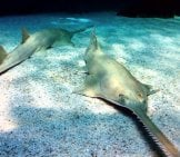 A Pair Of Green Sawfish On The Ocean Floor Photo By: Flavia Brandi From Roma, Italy Cc By-Sa 2.0 Https://creativecommons.org/licenses/by-Sa/2.0