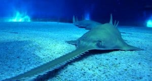 Sawfish on the sandy bottomPhoto by: Lorenzo Blangiardihttps://creativecommons.org/licenses/by-nd/2.0/