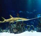 Carpenter Shark Photo By: Publicdomainpictures Https://pixabay.com/photos/animal-Shark-Sawfish-Aquarium-21731/