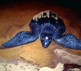 Leatherback Sea Turtle Laying Her Eggs On The Beach Photo By: Bernard Dupont //creativecommons.org/licenses/by-Sa/2.0/