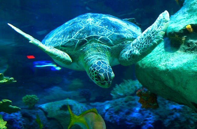 Sea Turtle, at the Ripley's Aquarium of CanadaPhoto by: City.and.Color //creativecommons.org/licenses/by-sa/2.0/
