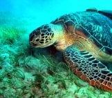 Sea Turtle In The Red Sea Photo By: Frank_Am_Main Https://creativecommons.org/licenses/by-Sa/2.0/