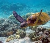 Beautiful Sea Turtle Swimming In Shallow Watersphoto By: Charly W. Karl//creativecommons.org/licenses/by-Sa/2.0/