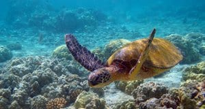Beautiful Sea Turtle swimming in shallow watersPhoto by: Charly W. Karlhttps://creativecommons.org/licenses/by-sa/2.0/