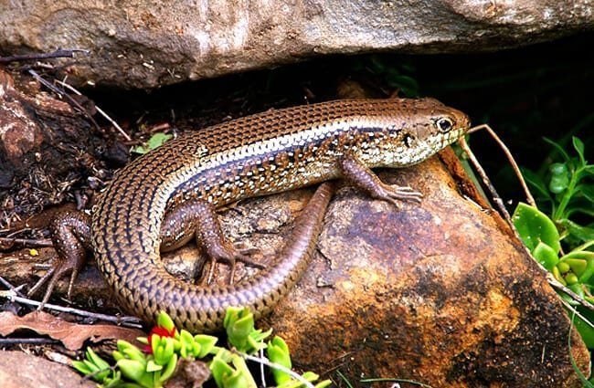 Blue-Tongued Skink on a rockPhoto by: sandidhttps://pixabay.com/photos/skink-lizard-reptile-scincoides-425157/