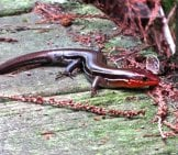 Skink On The Garden Walk Photo By: Susan Young (Public Domain)