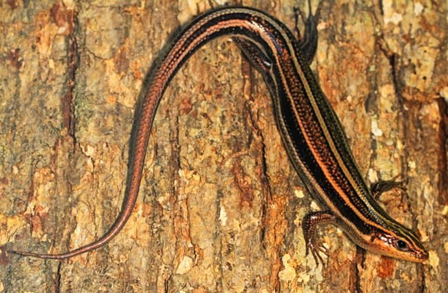 Southeastern Five-Lined Skink Photo by: Judy Gallagher https://creativecommons.org/licenses/by/2.0/