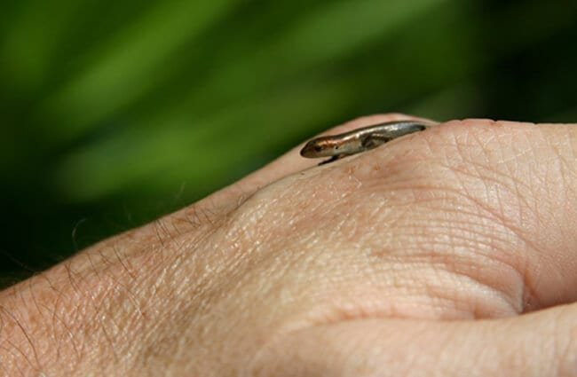 A tiny baby Skink Photo by: Robert Engberg https://creativecommons.org/licenses/by/2.0/