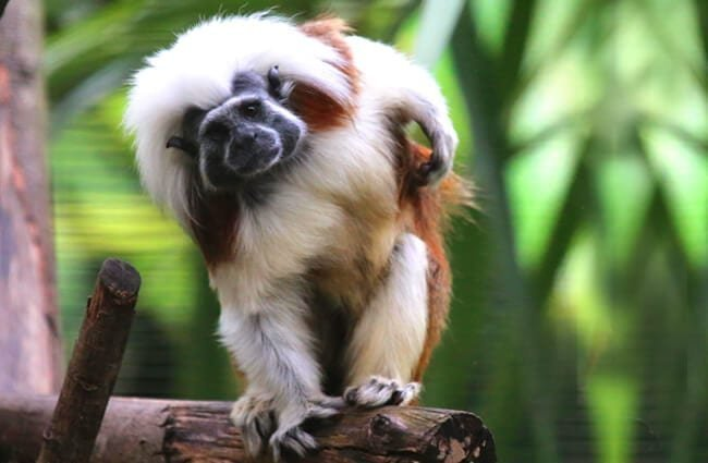 Cotton-Top Tamarin Photo by: cuatrok77 https://creativecommons.org/licenses/by/2.0/