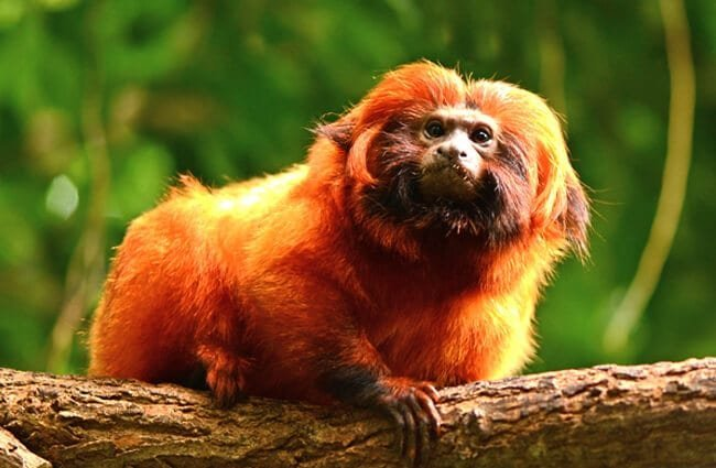 Golden Lion Tamarin Photo by: Alias 0591 https://creativecommons.org/licenses/by/2.0/