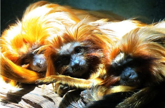 A trio of Golden Lion Tamarin Marmosets Photo by: Greg Goebel https://creativecommons.org/licenses/by/2.0/