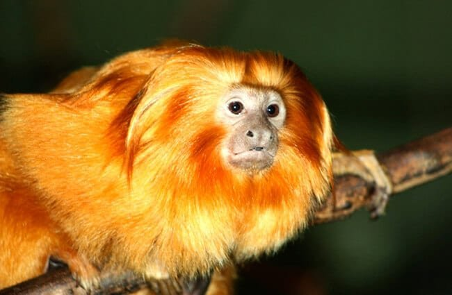 Golden Lion Tamarin Photo by: Mike Bowler https://creativecommons.org/licenses/by/2.0/