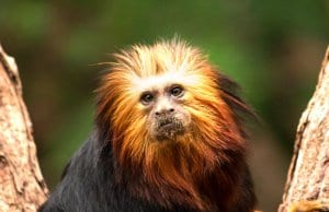 Golden Headed Lion TamarinPhoto by: Ben Allen//creativecommons.org/licenses/by/2.0/