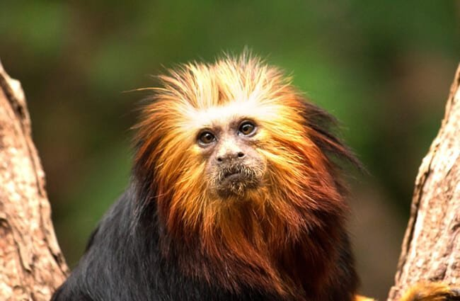 Golden Headed Lion TamarinPhoto by: Ben Allenhttps://creativecommons.org/licenses/by/2.0/