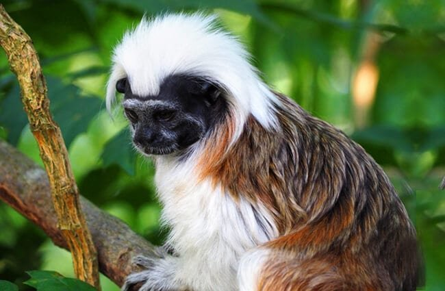 The cutest Cottontop Tamarin! Photo by: munki https://creativecommons.org/licenses/by/2.0/
