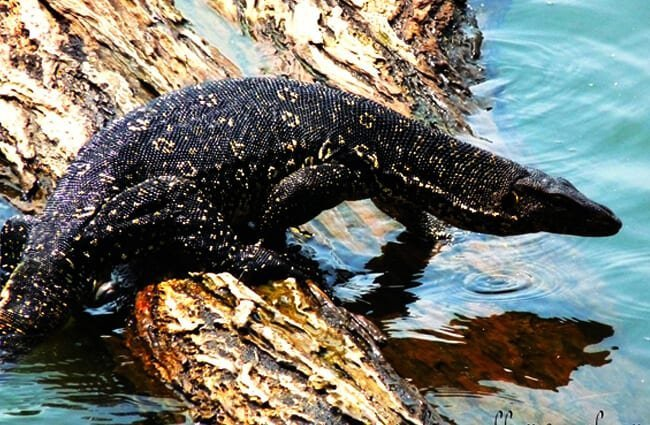 Water Monitor heading back into the water Photo by: foto.rajith https://creativecommons.org/licenses/by/2.0/