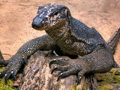 Palawan Water Monitor Lizard on the beachPhoto by: Ray in Manilahttps://creativecommons.org/licenses/by/2.0/