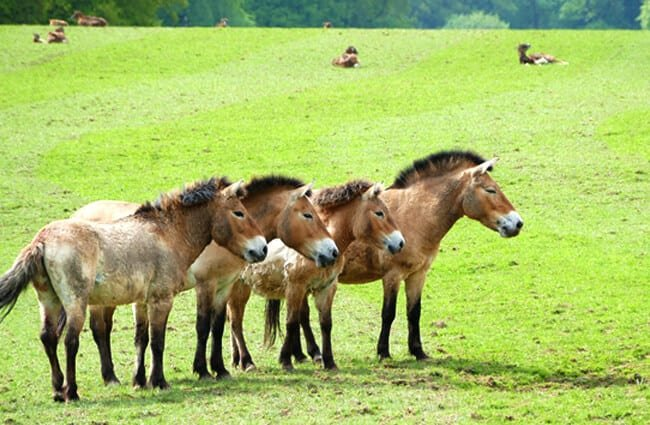 Herd of Przewalski's Horses on a horse farm in Maine Photo by: Olaf Janssen //pixabay.com/photos/przewalski-horses-horses-horse-farm-3414202/