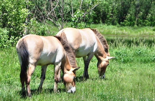 A pair of Przewalski's Wild Horses grazing Photo by: Ted //creativecommons.org/licenses/by/2.0/