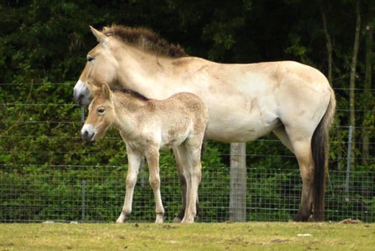 Mom and foal Przewalski's Wild HorsesPhoto by: Tanya Durranthttps://creativecommons.org/licenses/by/2.0/