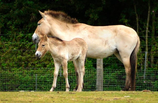 Mom and foal Przewalski's Wild HorsesPhoto by: Tanya Durrant//creativecommons.org/licenses/by/2.0/