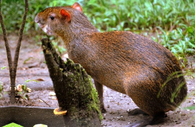 Central American Agouti at the Amazoonico Animal Rescue Centre Photo by: Kate Tann https://creativecommons.org/licenses/by-sa/2.0/