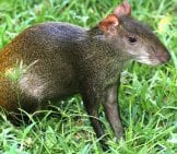 Golden-Rumped Agouti Photo By: Stephen Horvath Https://Creativecommons.org/Licenses/By-Sa/2.0/