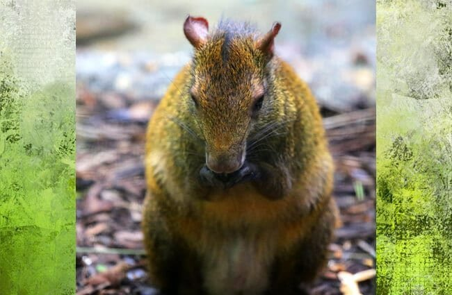 Orange-Rumped Agouti having a snack Photo by: cuatrok77 https://creativecommons.org/licenses/by-sa/2.0/