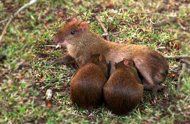 A mother Agouti nursing her pups in the back yard Photo by: Brian Gratwicke https://creativecommons.org/licenses/by-sa/2.0/