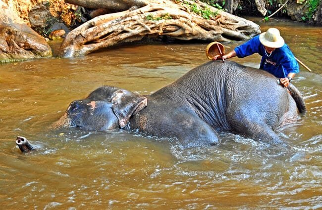 Bathing elephant at the Maesa Elephant Camp Photo by: Dennis Jarvis https://creativecommons.org/licenses/by-sa/2.0/