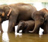 Asian Elephant Family In The River Photo By: Dennis Jarvis Https://Creativecommons.org/Licenses/By-Sa/2.0/