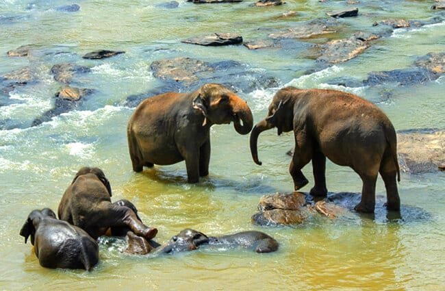 Sri Lankan Elephant family enjoying the river's waters Photo by: pen_ash https://pixabay.com/photos/sri-lankan-elephant-elephant-asian-4043775/