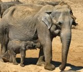 Elephant Mother With Her Little Calfphoto By: Elsemargriethttps://Pixabay.com/Photos/Elephant-With-Boy-Zoo-Planckendael-3375364/
