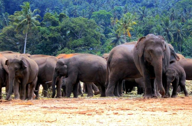 Herd of Asian Elephants Photo by: Mohamed Nuzrath https://pixabay.com/photos/elephant-orphanage-elephants-170867/