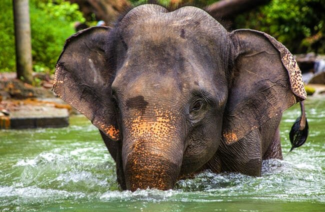 Beautiful Asian Elephant in the river Photo by: Dominique20 https://pixabay.com/photos/elephant-asia-thailand-2452201/